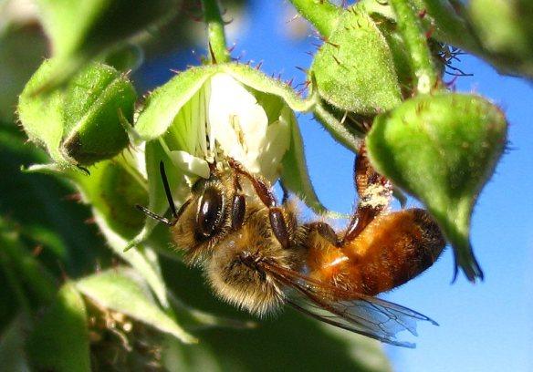 honeybee on a rasp