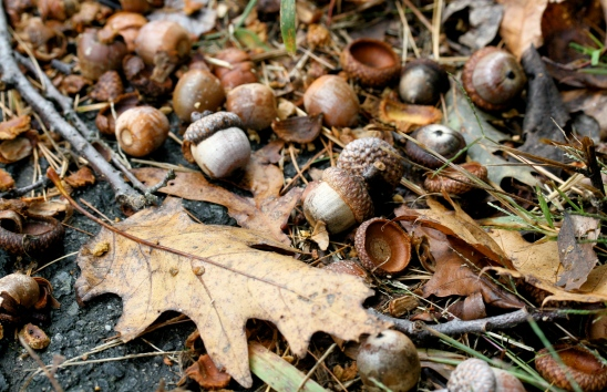 Real-Acorns-On-The-Ground-Wallpapers