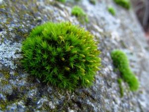 Moss button