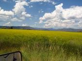 Mustard in a field