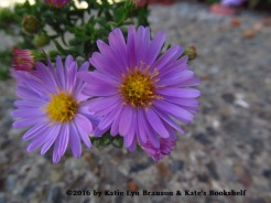 Double Trouble (asters)
