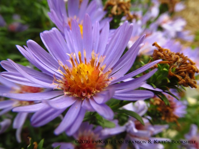 purple-asters